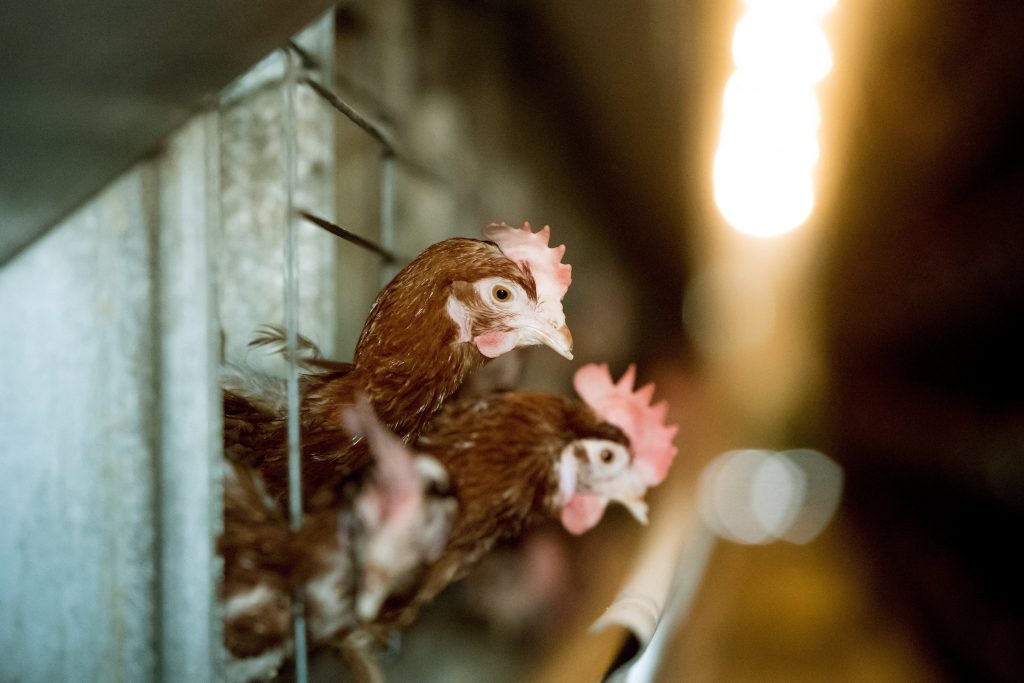 Hens Slaughtered at Bács-Kiskun County Farm after Bird Flu Identified post's picture