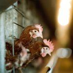Hens Slaughtered at Bács-Kiskun County Farm after Bird Flu Identified