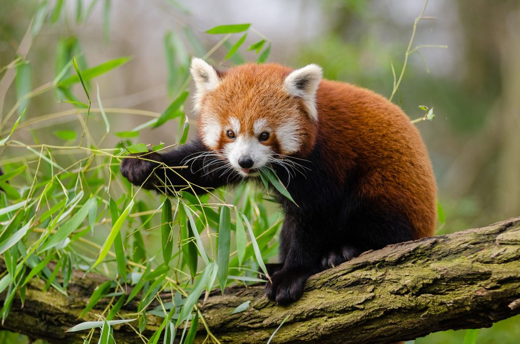Red Panda to Move from Debrecen Zoo to Northern India post's picture