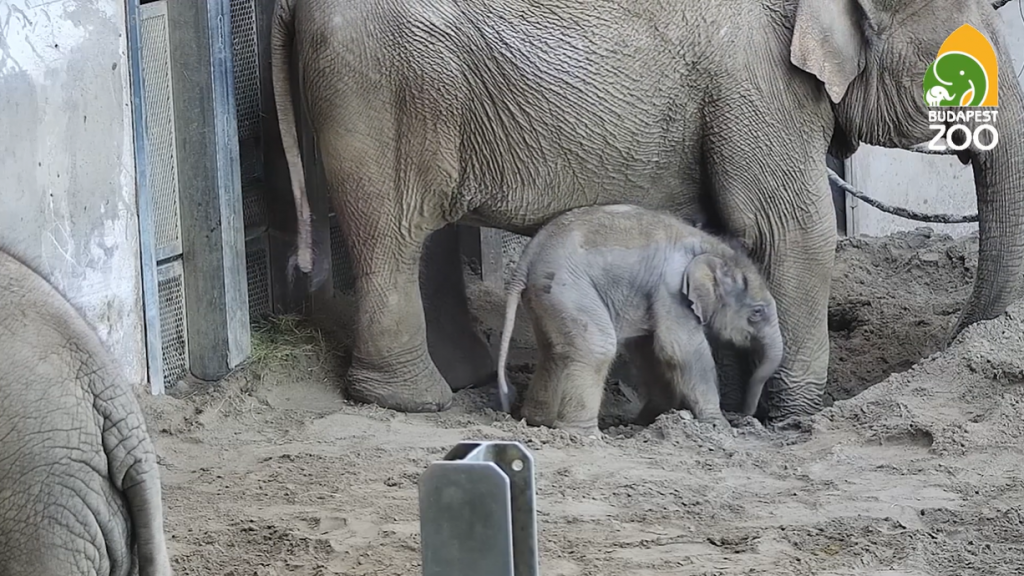 Elephant Calf Born in Budapest Zoo post's picture