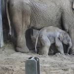 Elephant Calf Born in Budapest Zoo