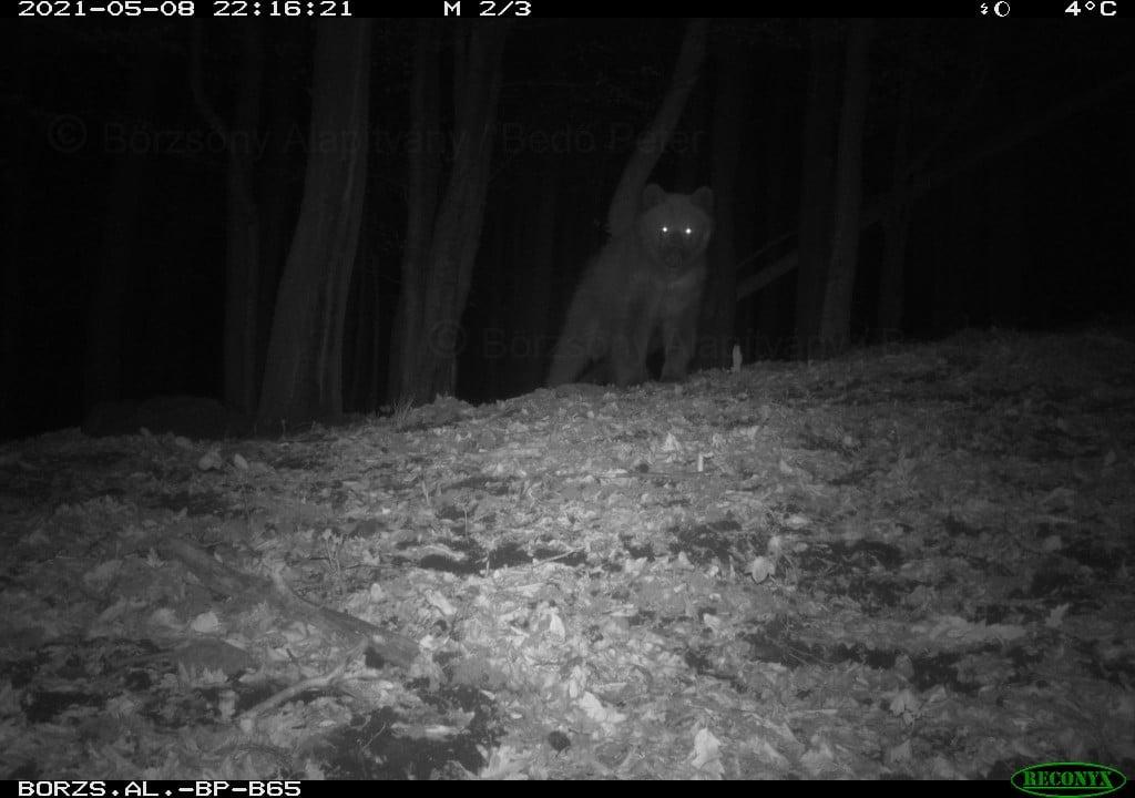 Elusive Bear in Börzsöny Finally Caught on Camera post's picture