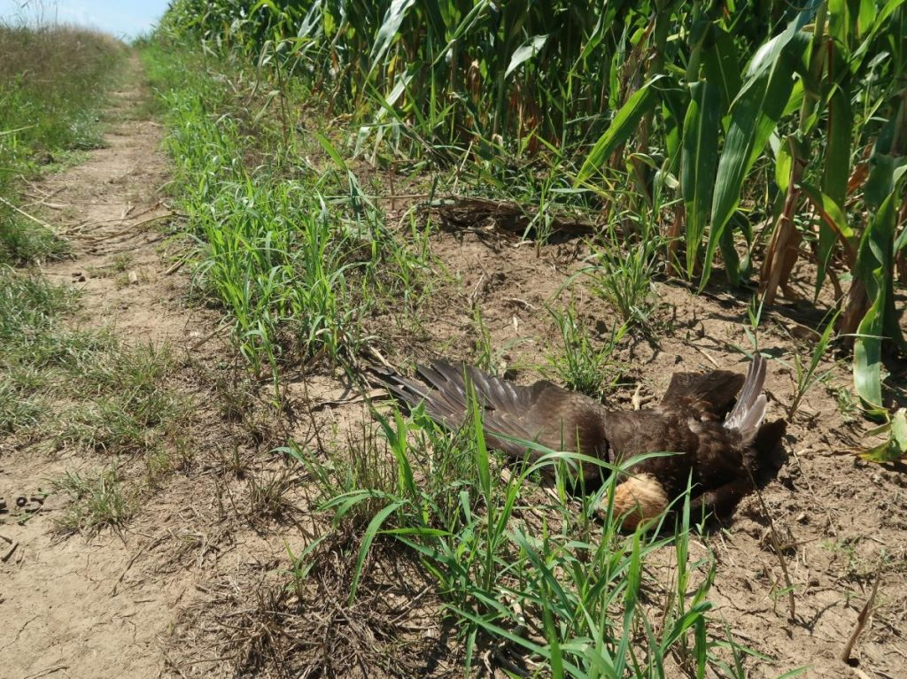 Over 100 Protected Birds of Prey Poisoned with Illegal Carbofuran post's picture